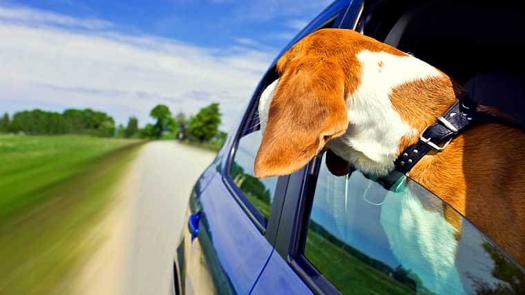 adventure; animal; automobile; beagle; beautiful; blue; blur; brown; car; cloud; country; cute; dog; doggy; domestic; drive; driving; field; fun; funny; going; grass; green; head; horizon; horizontal; hound; land; landscape; looking; meadow; motion; nature; obedient; one; open; outdoor; pasture; pet; purebred; road; route; sky; summer; sunlight; sunny; tourism; travel; trip; vehicle; view; white; window;